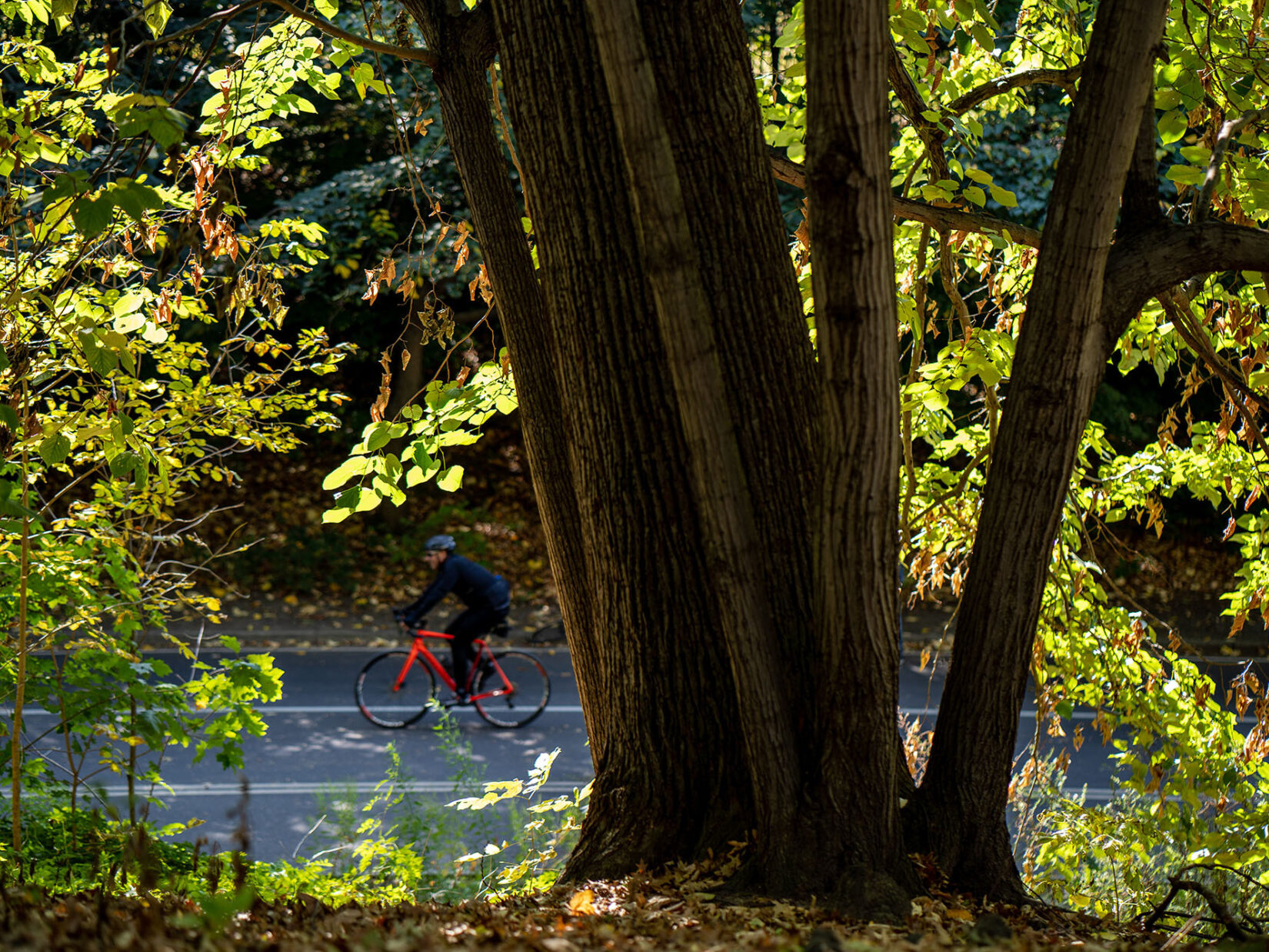 A bicyclist can be seen through the leaves and past the trunk of a large tree