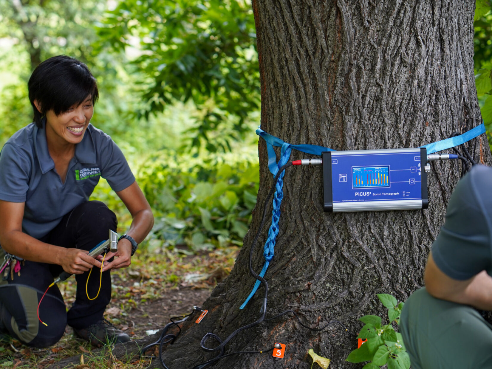 Arborists measuring the circumference of a Park tree