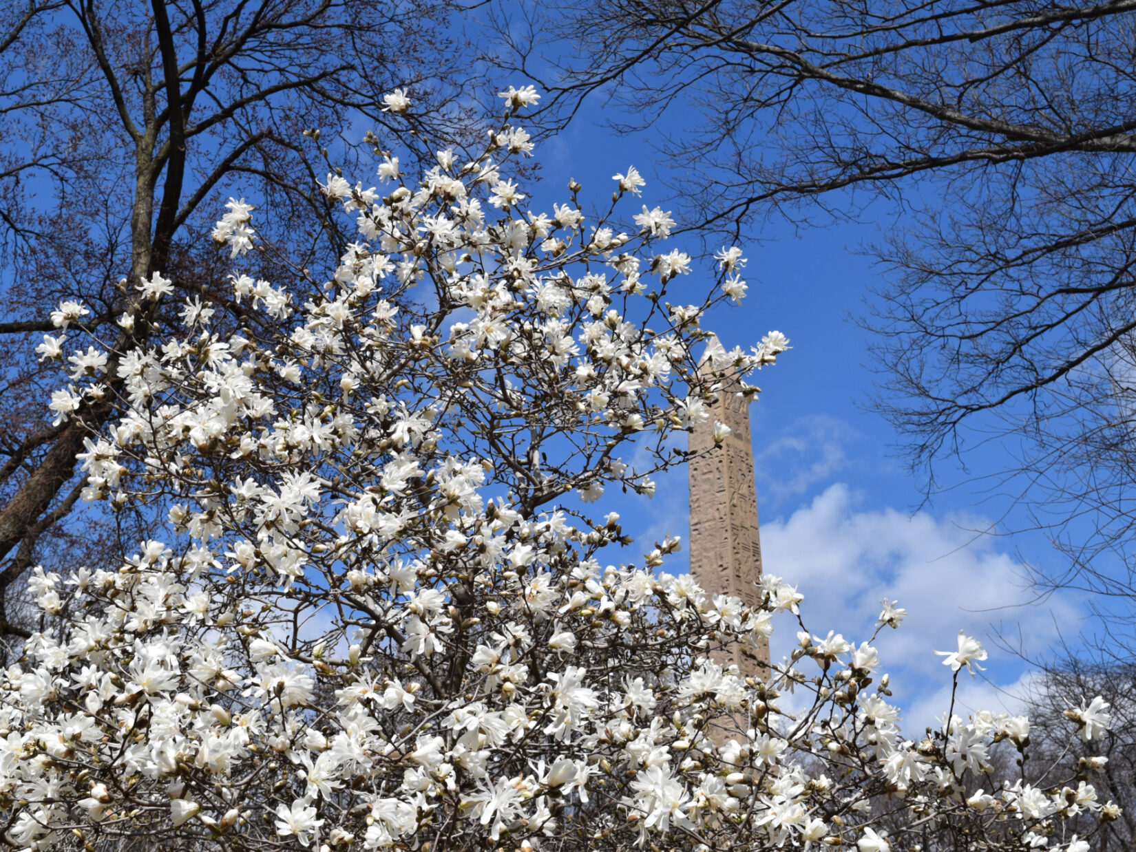 Cleopatra's Needle seen through the boughs of a magnolia tree