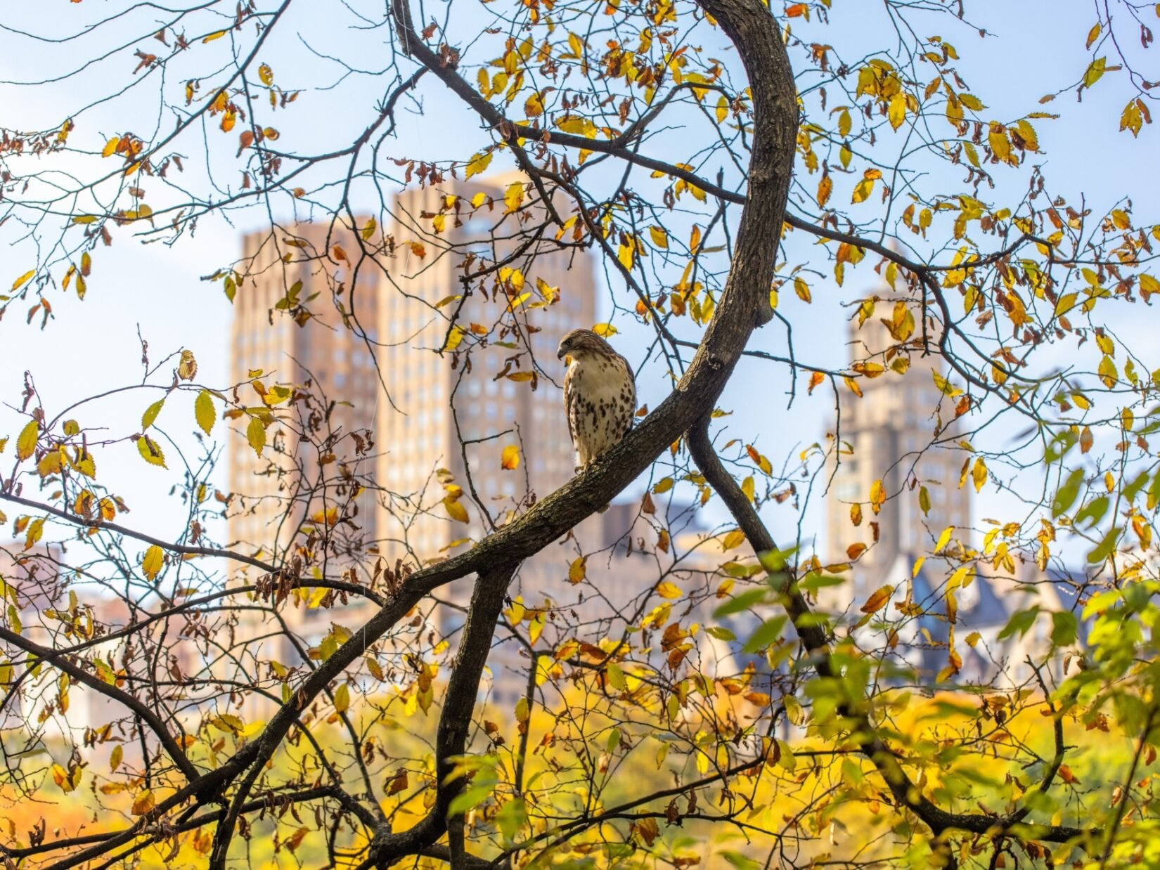 A hawk perches on a branch in autumn against a backdrop of fall colors and New York apartment buildings