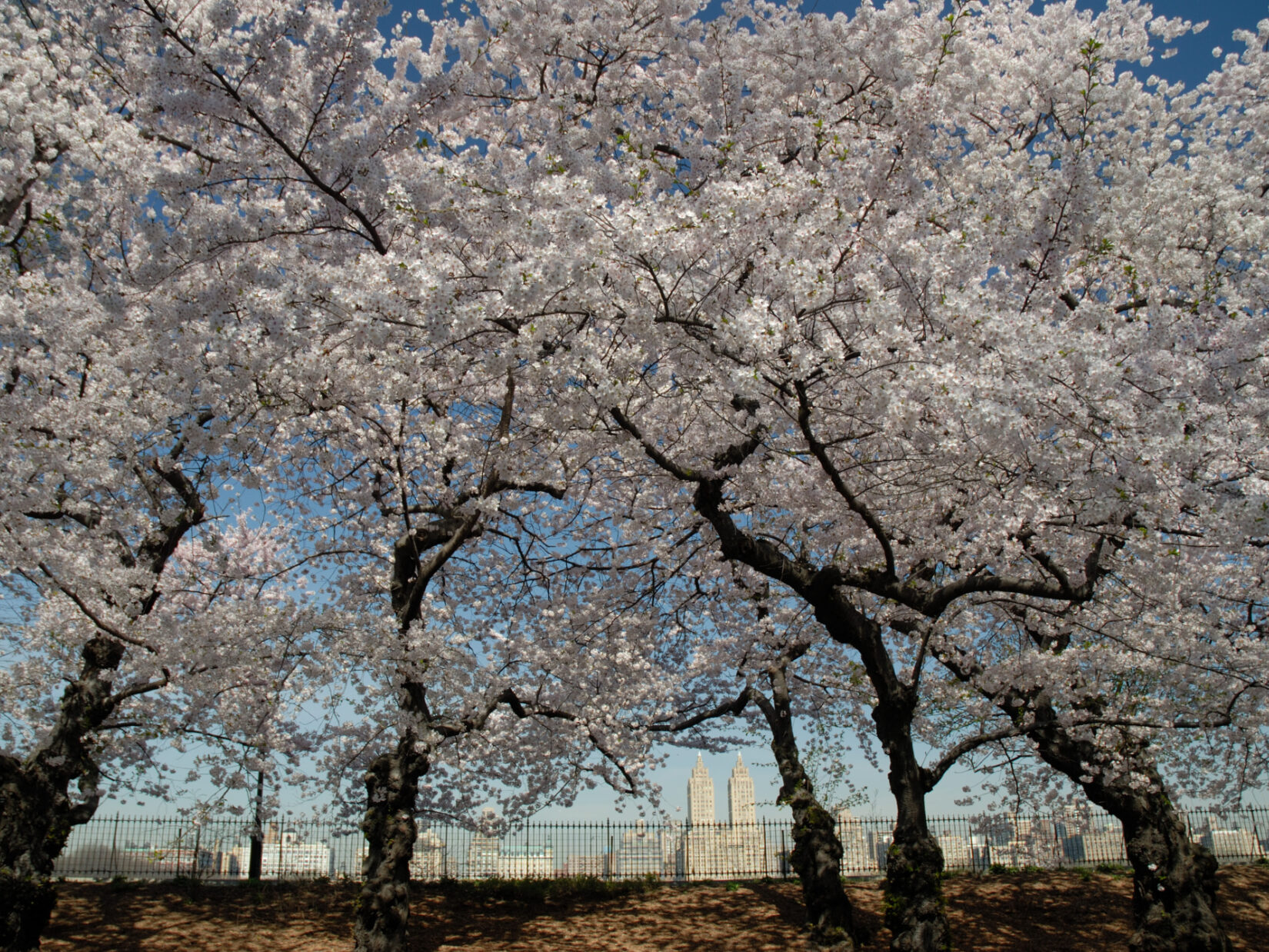 The dark bark of cherry trees are seen beneath a canopy of spring blossoms, with the fence around the Schuman track silhouetted at the bottom.