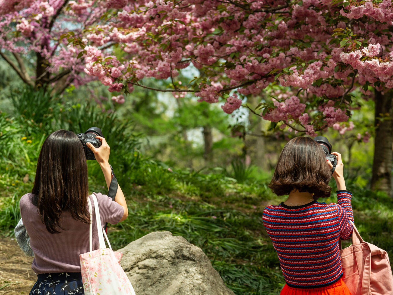 Two women taking photos of cherry trees