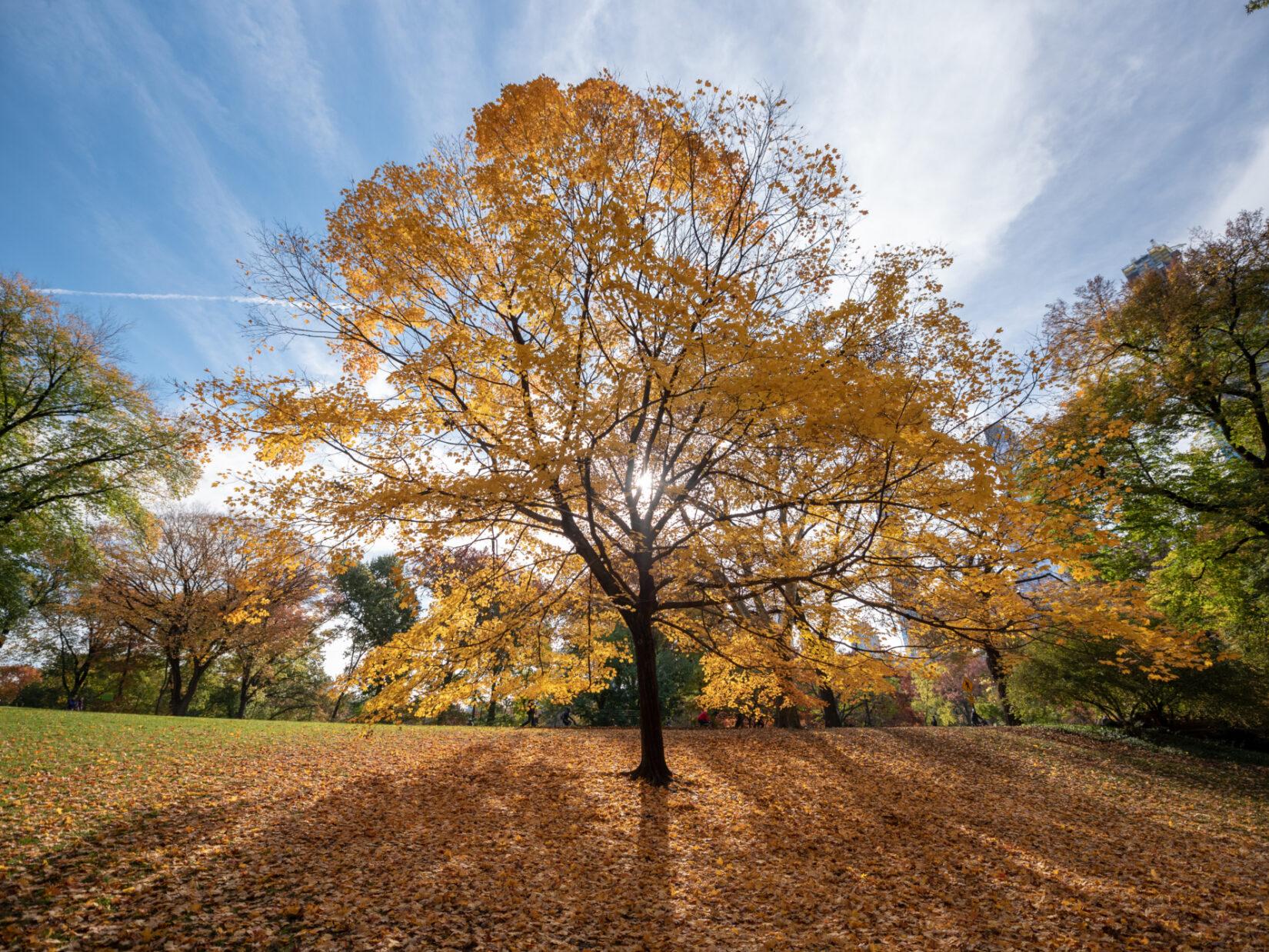 An autumn tree backlit by a brilliant blue fall sky.