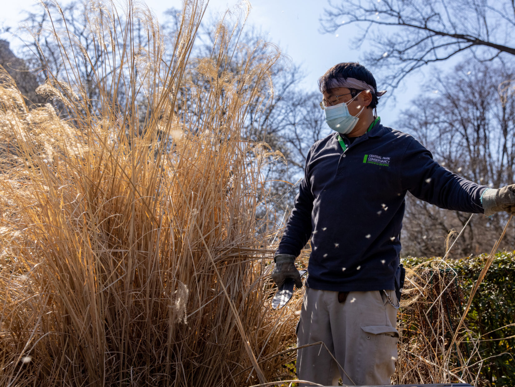 The Conservancy worker is shown confronting tall, yellowed stalks of miscanthus.