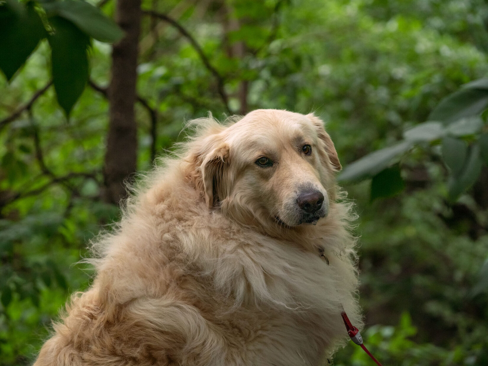 A dog with a fluffy, golden coat with the green of the Park in the background