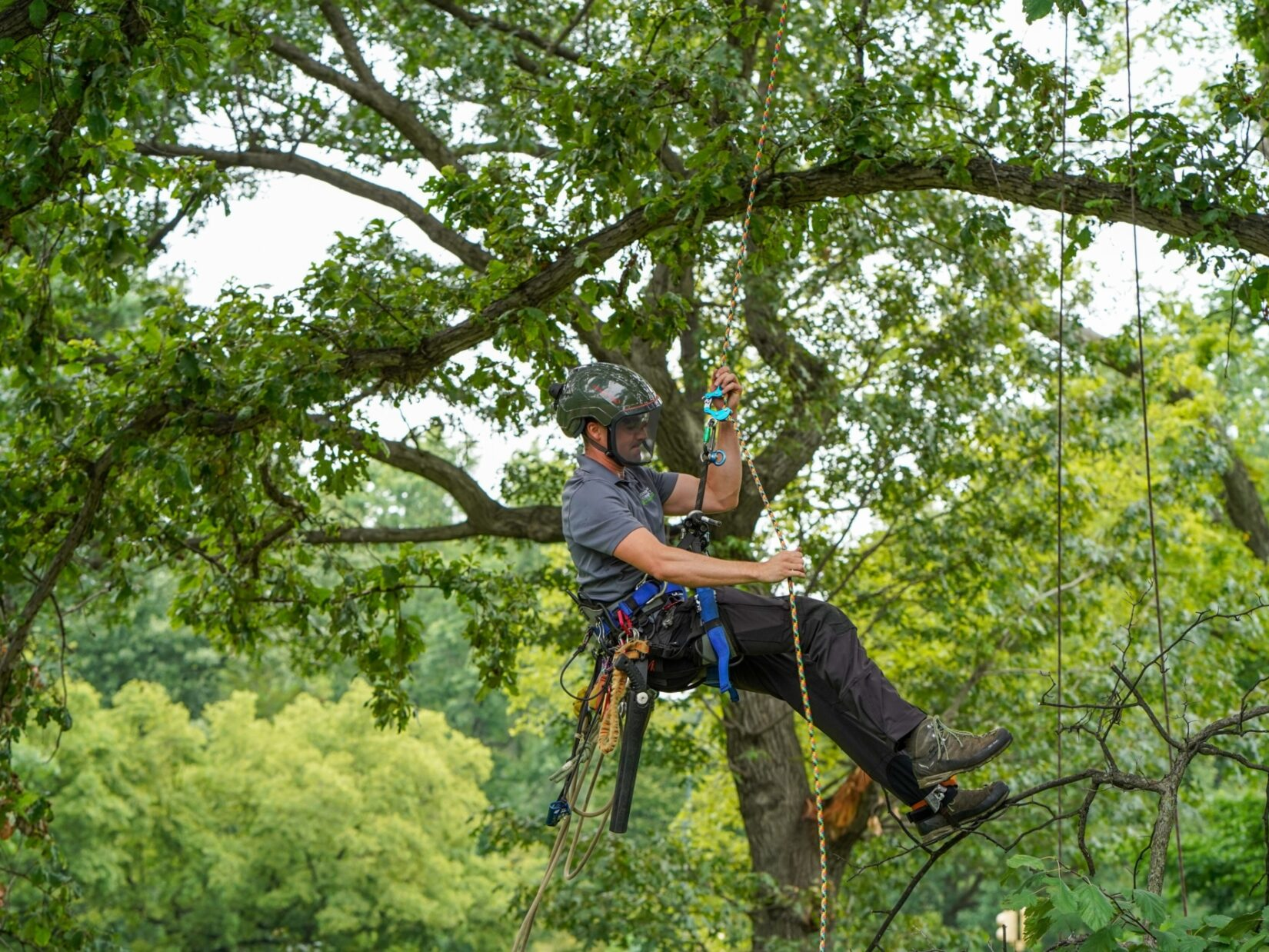 An arborist hangs by a harnesss from the high branches of a tree