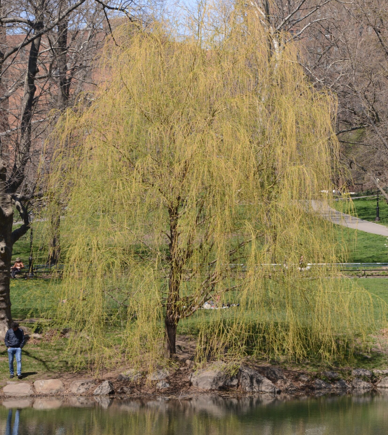 A full view of a weeping willow with drooping yellow branches
