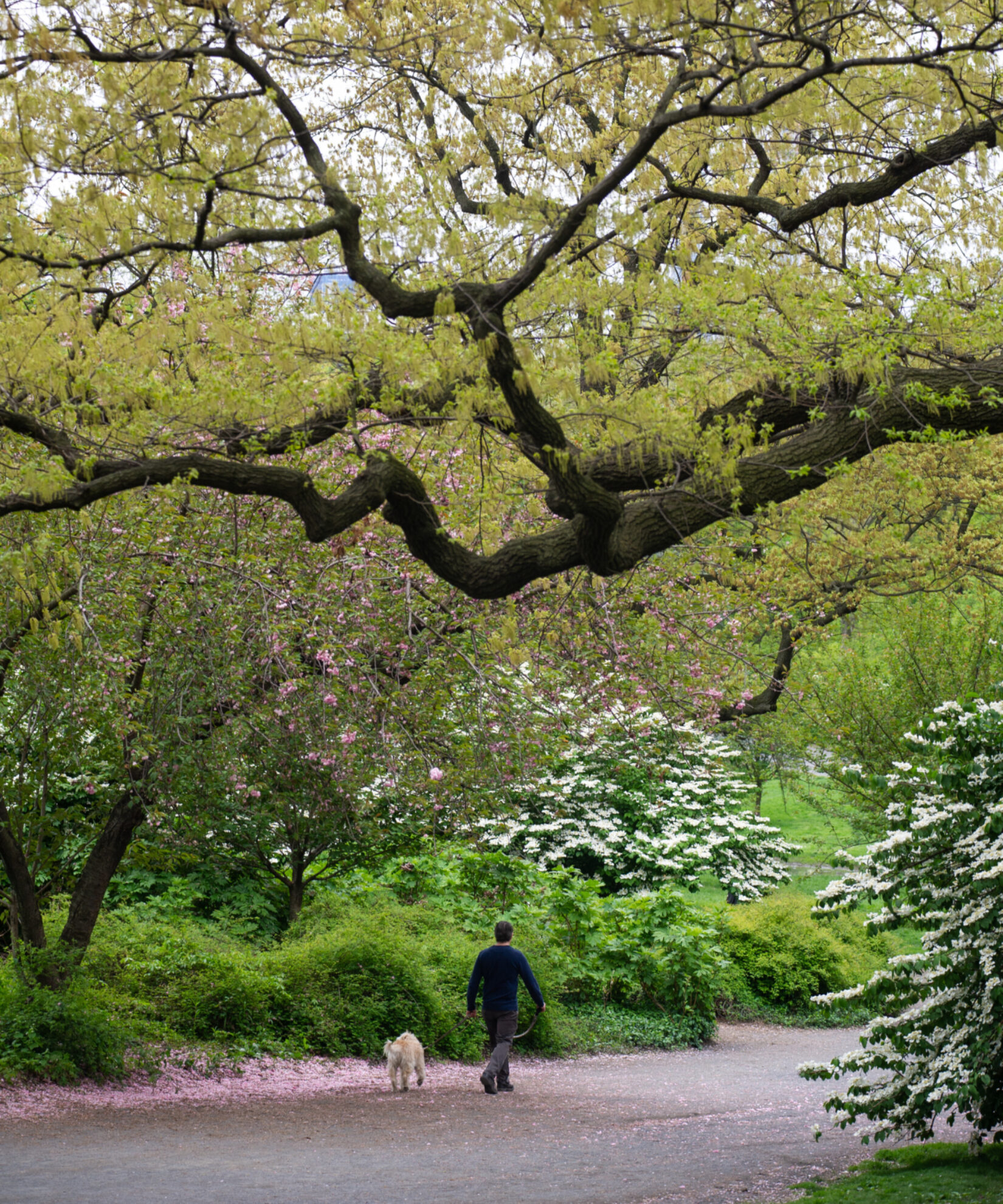 A man walks his dog along the Bridle Path in Sping