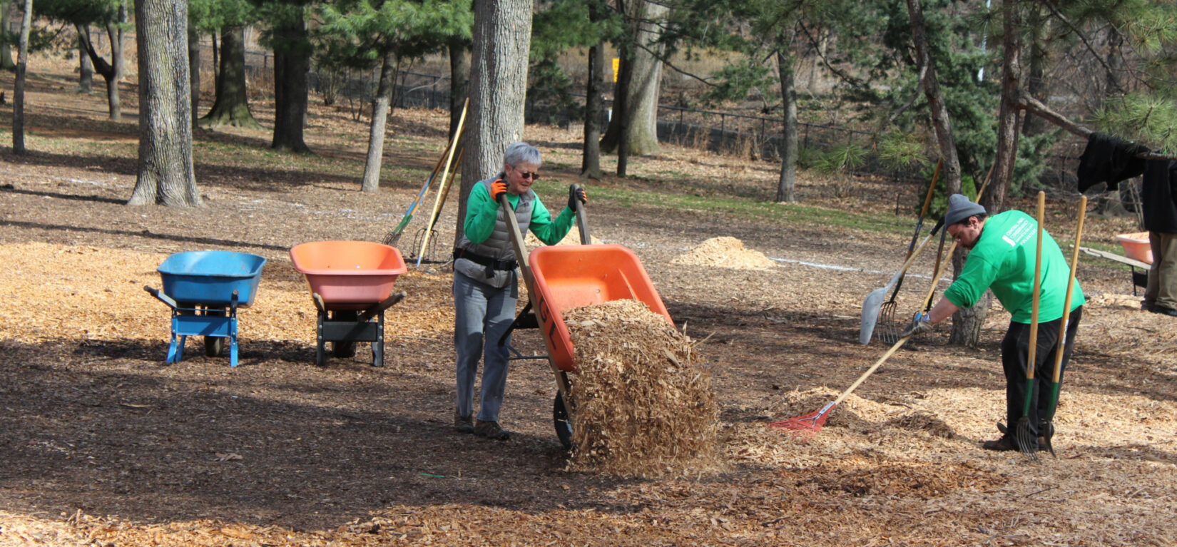 Volunteers with a wheelbarrow and a rake spread wood chips beneath the trees of the Pinetum