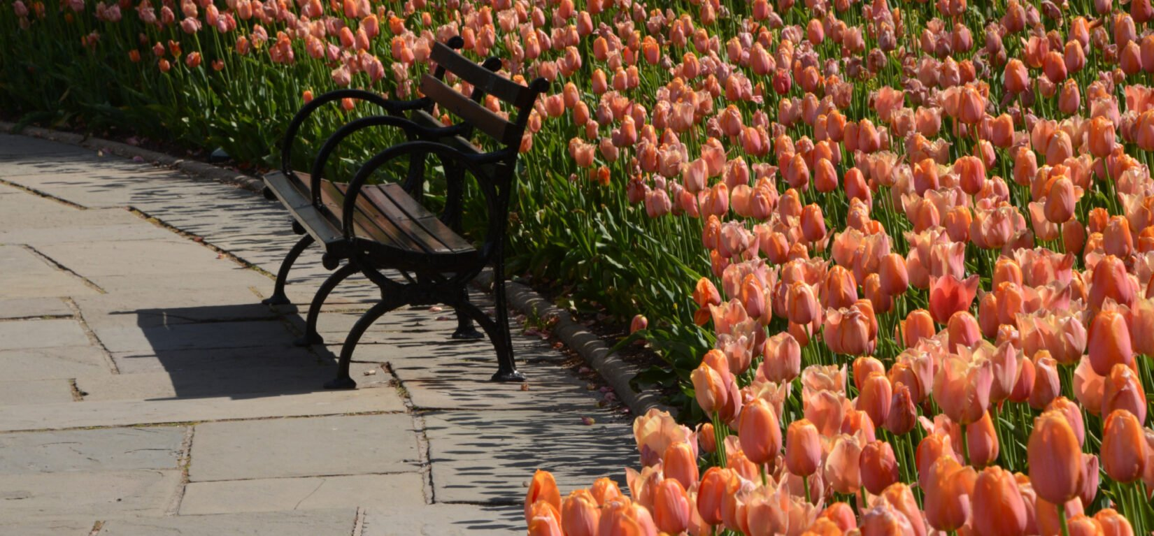 Tulips crowd behind an empty park bench in Conservatory Garden