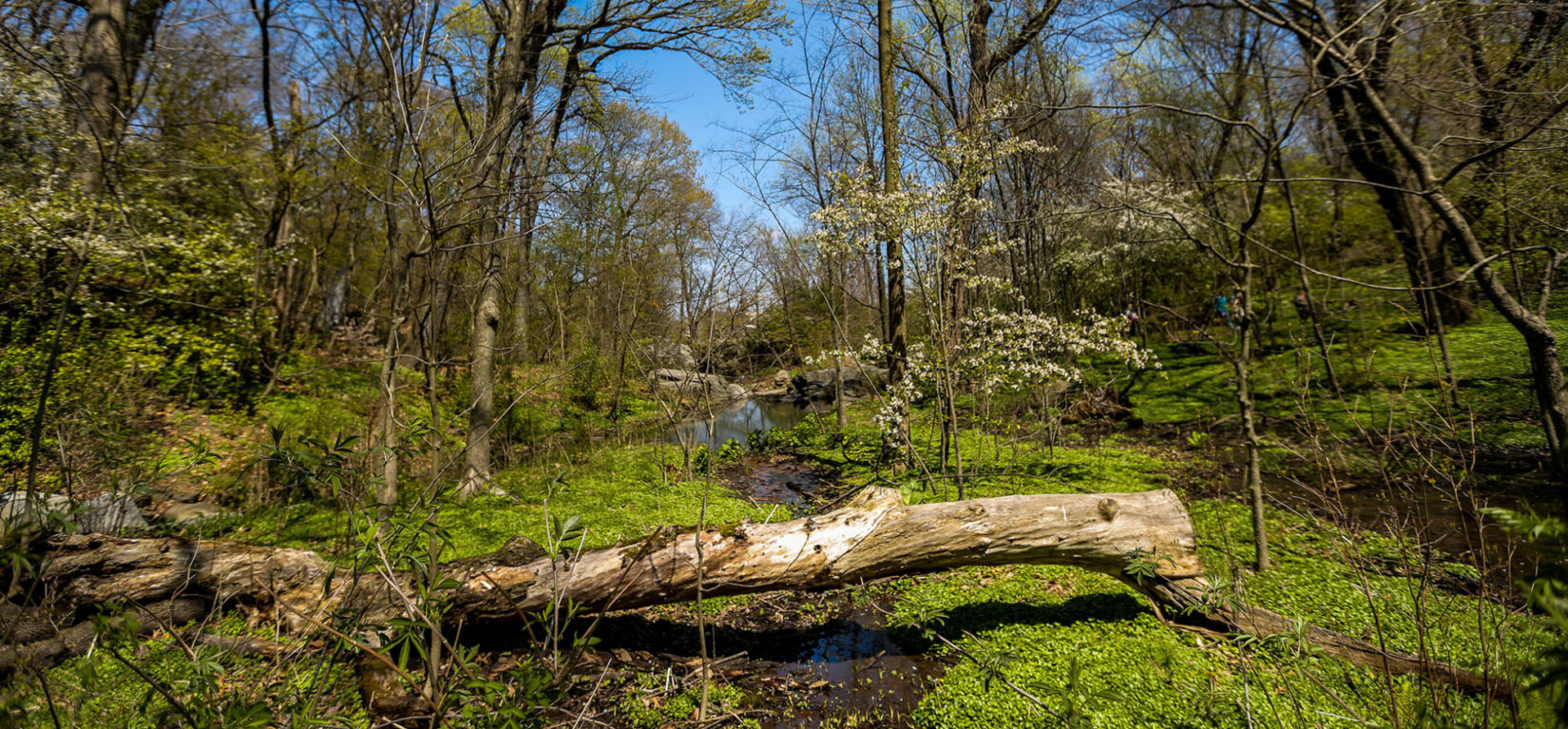 A spring scene with a fallen log spanning a small stream