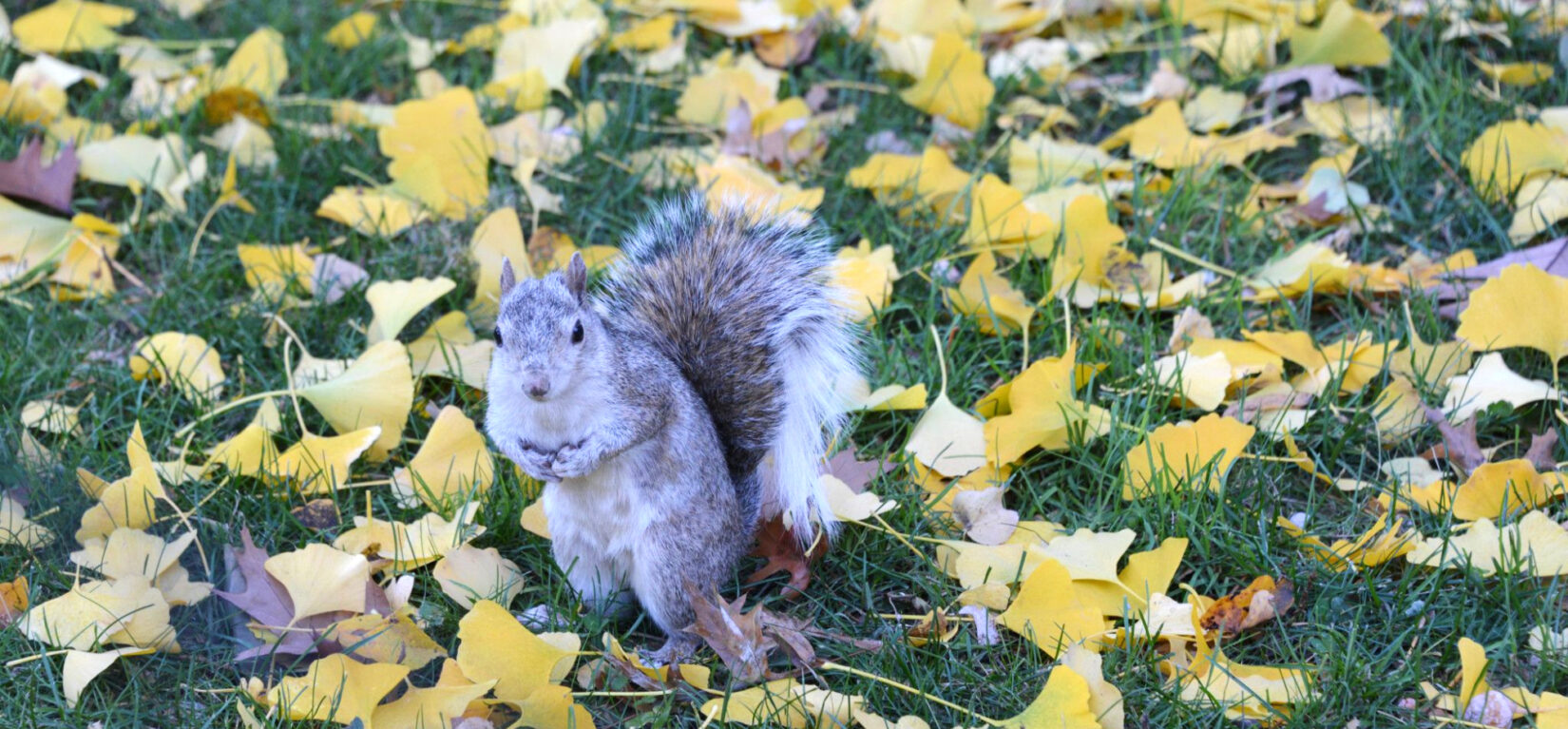 A squirrel poses for a photo among fallen leaves while gathering nuts.