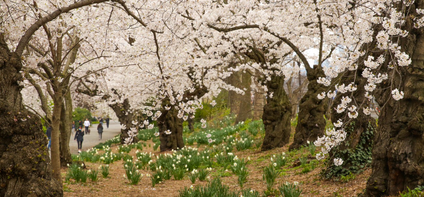 A thick canopy of cherry blossoms runs alongside the bridle path.