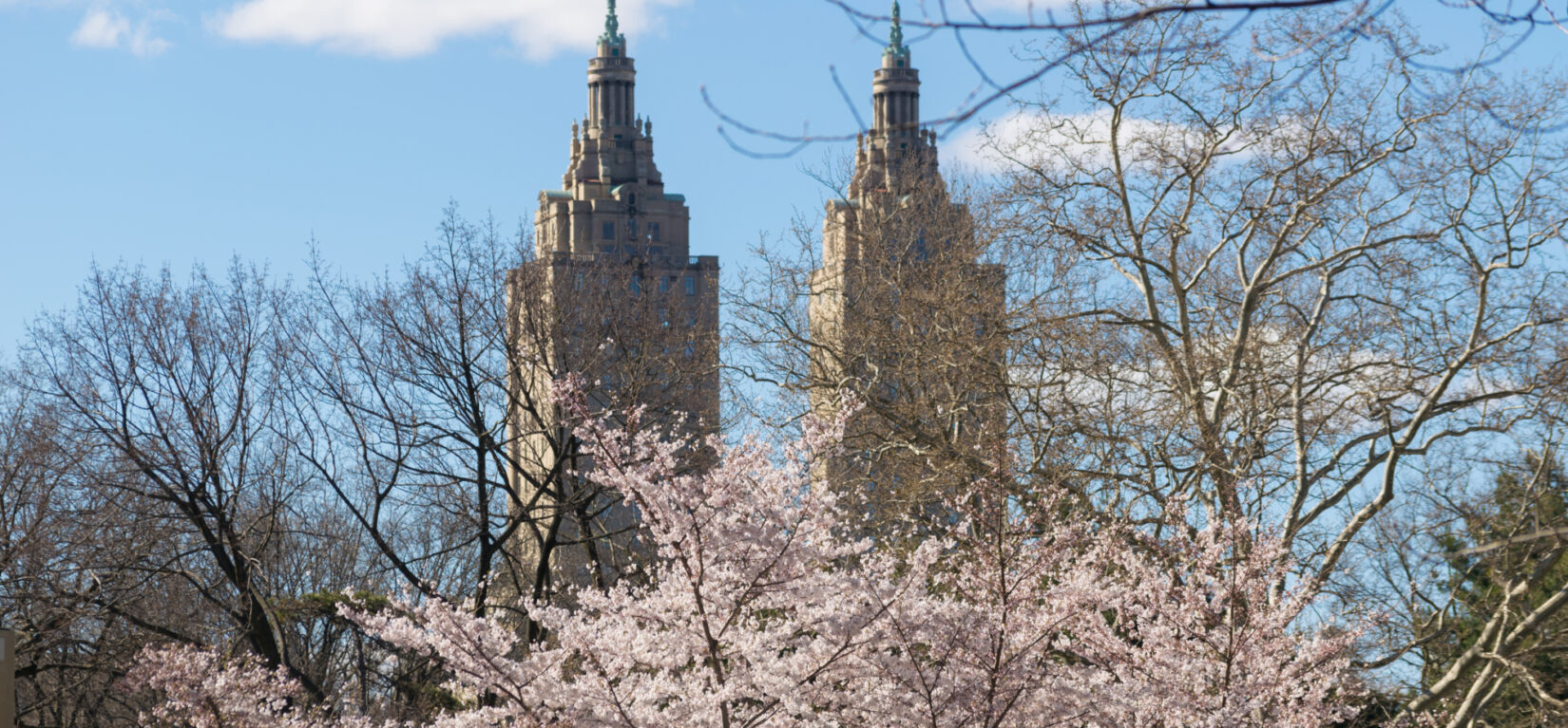 Cherry blossoms obscure the skyline of Manhattan's West Side