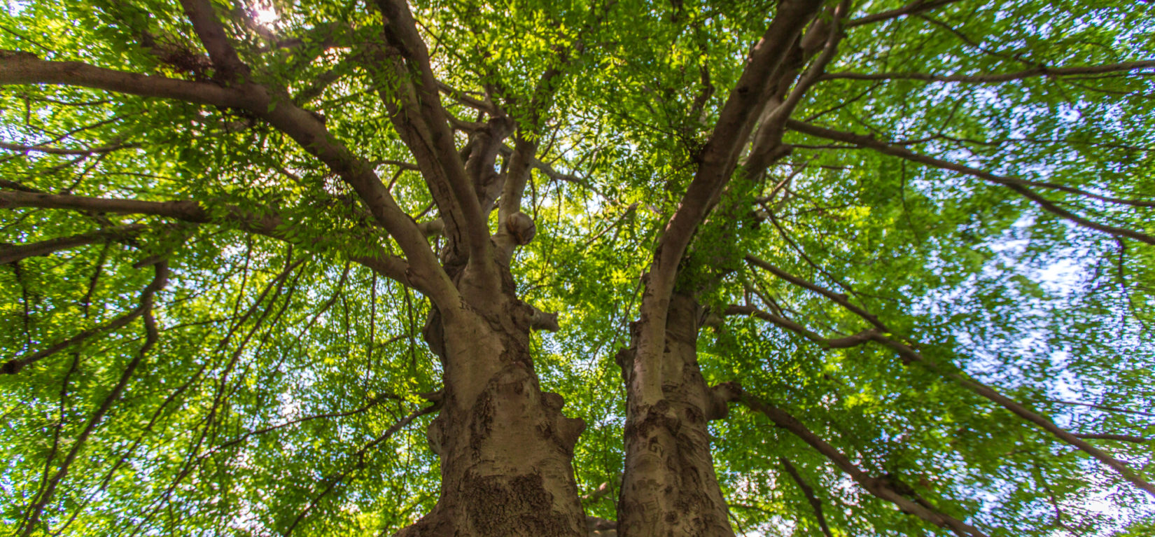 Looking up through the branches of a tree at Cherry Hill