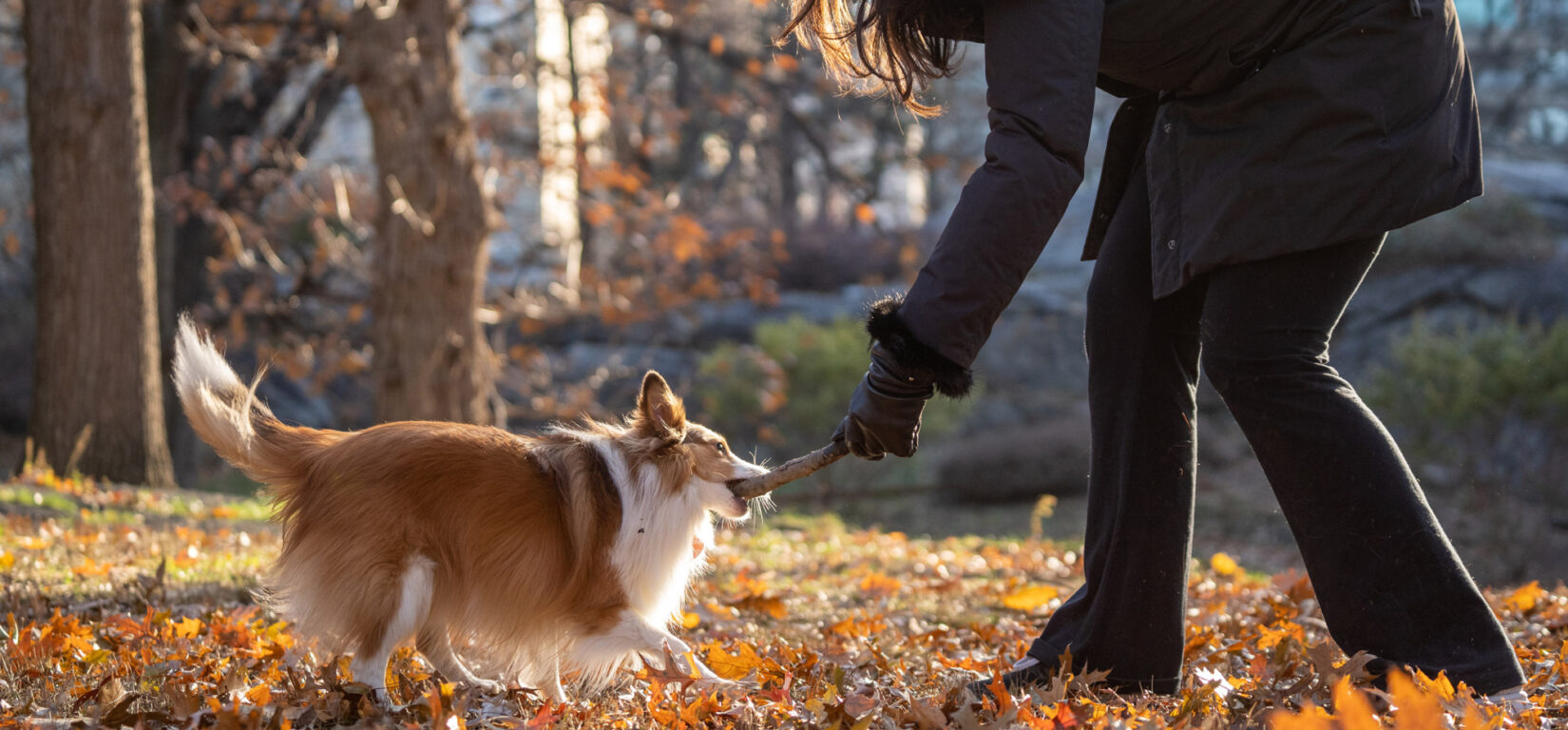 A dog wrestles its master for a stick on an autumn day in the Park