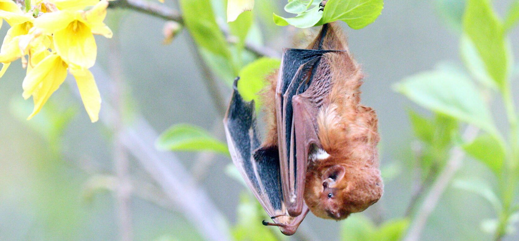 The bat is pictured hanging upside down from a leafy branch