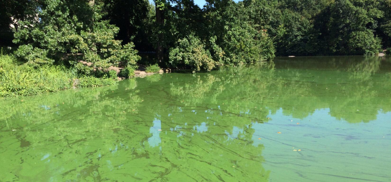 Harmful Algal Blooms in Central Park