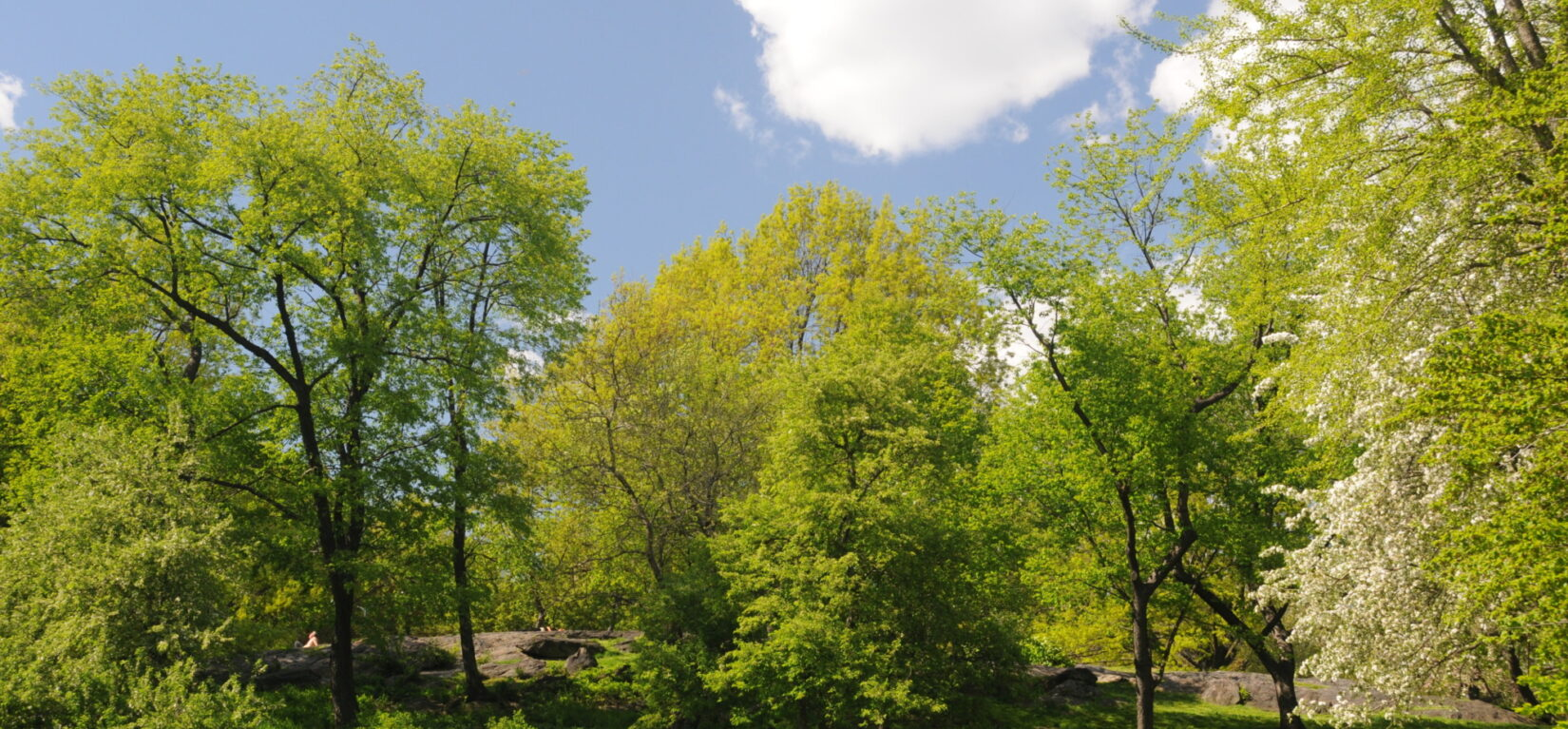 The expanse of the East Meadow is fringed with stands of elms and other trees.