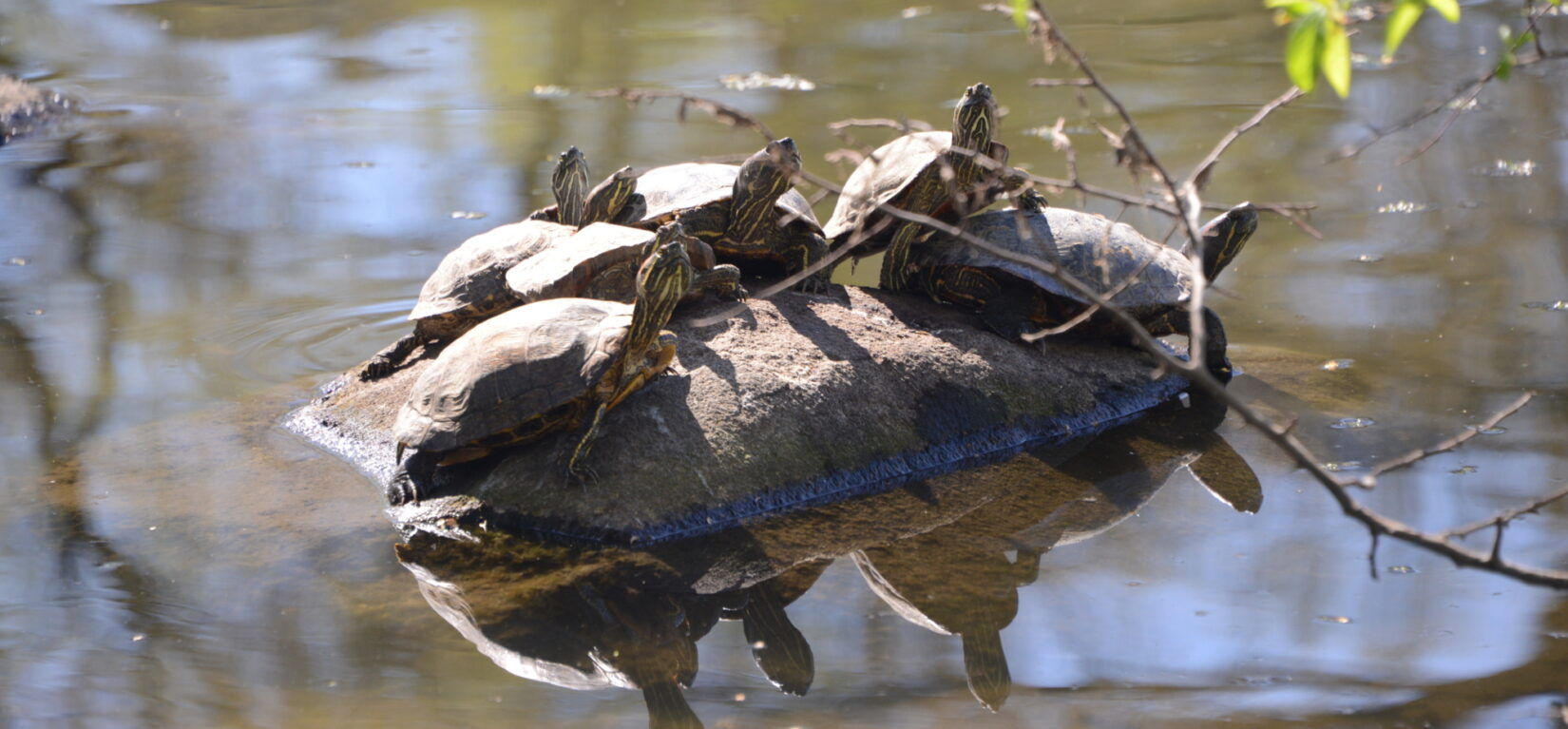 Turtles rest on a rock in Turtle Pond
