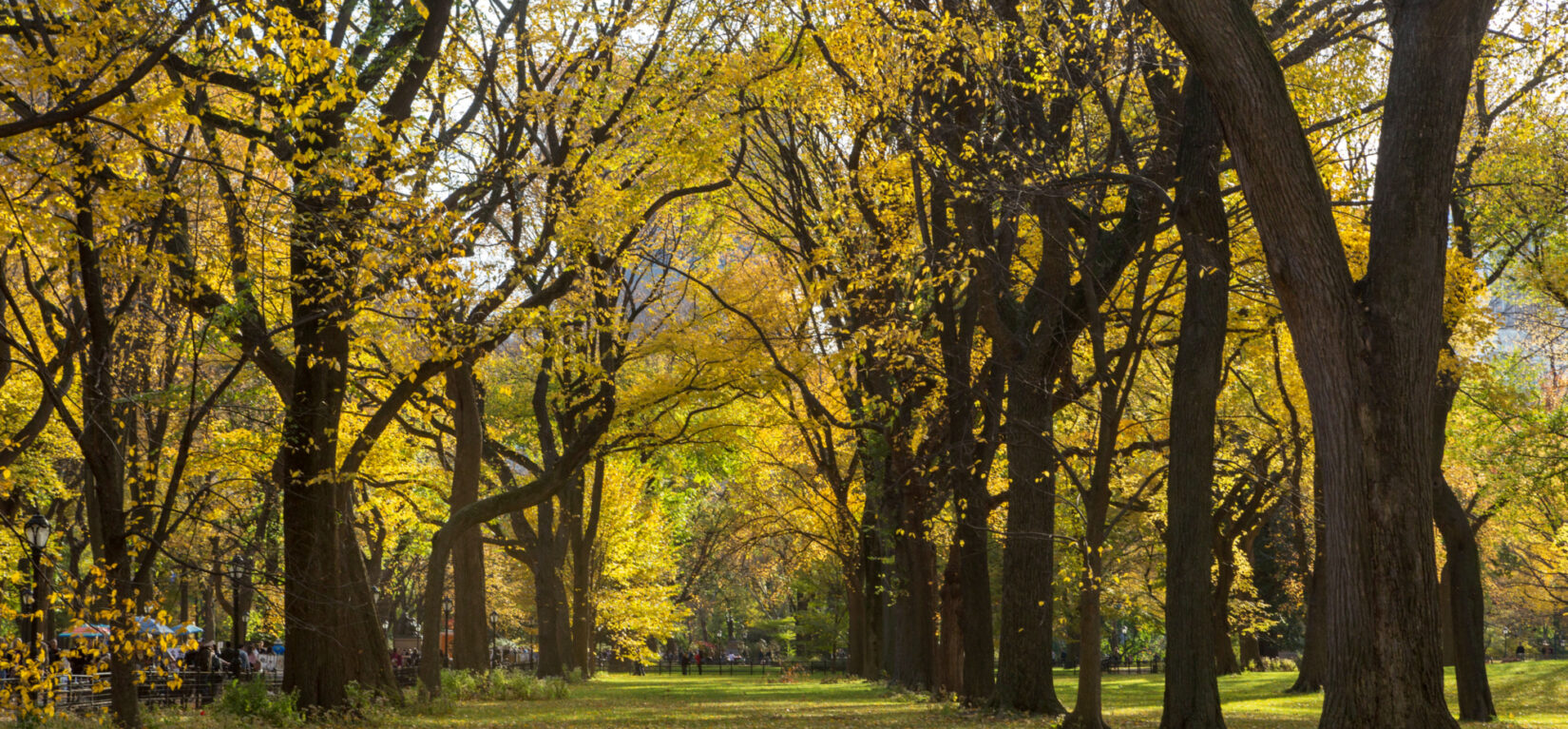 Looking down a row of American Elms in fall colors at the Mall