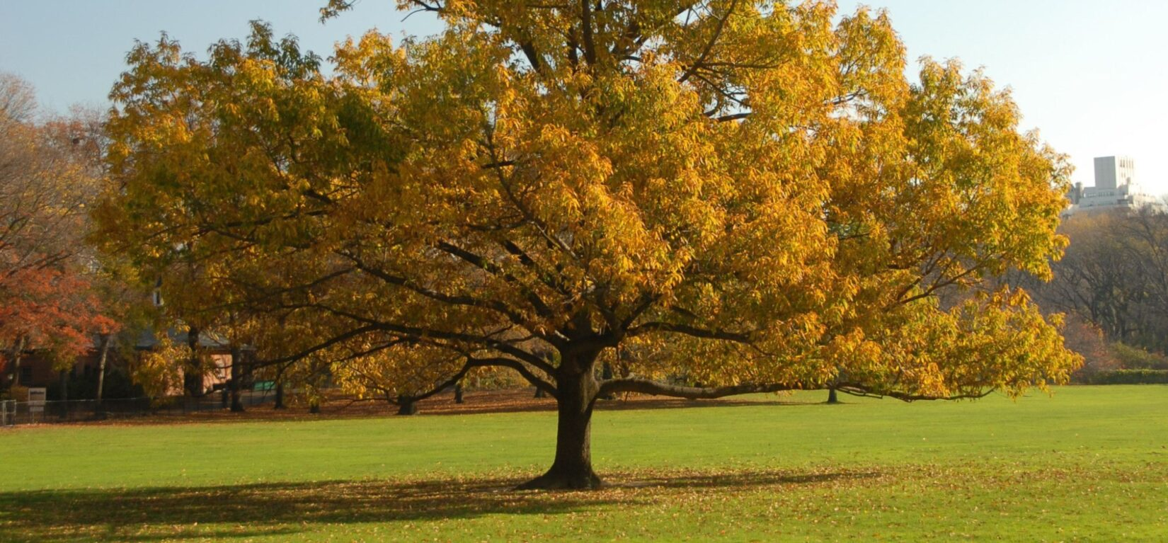 A majestic oak stands alone in all its autumnal beauty