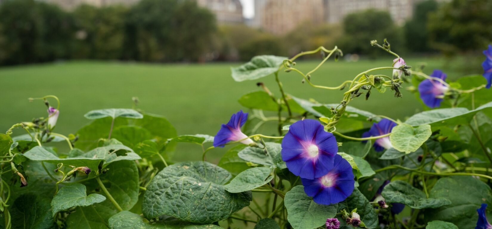 Close-up on flowers with the Sheep Meadow and skyline in the background