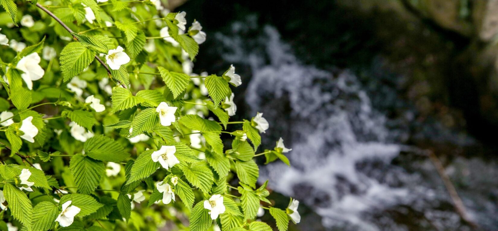 The Ravine flows in the background, behind a brightly-lit bough of green leaves and small, white flowers.
