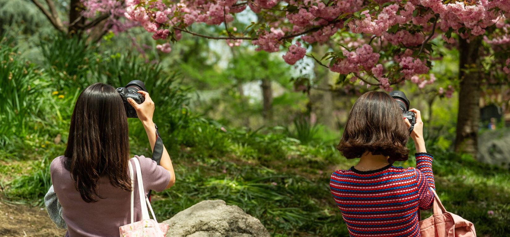 Two women taking photos of cherry trees