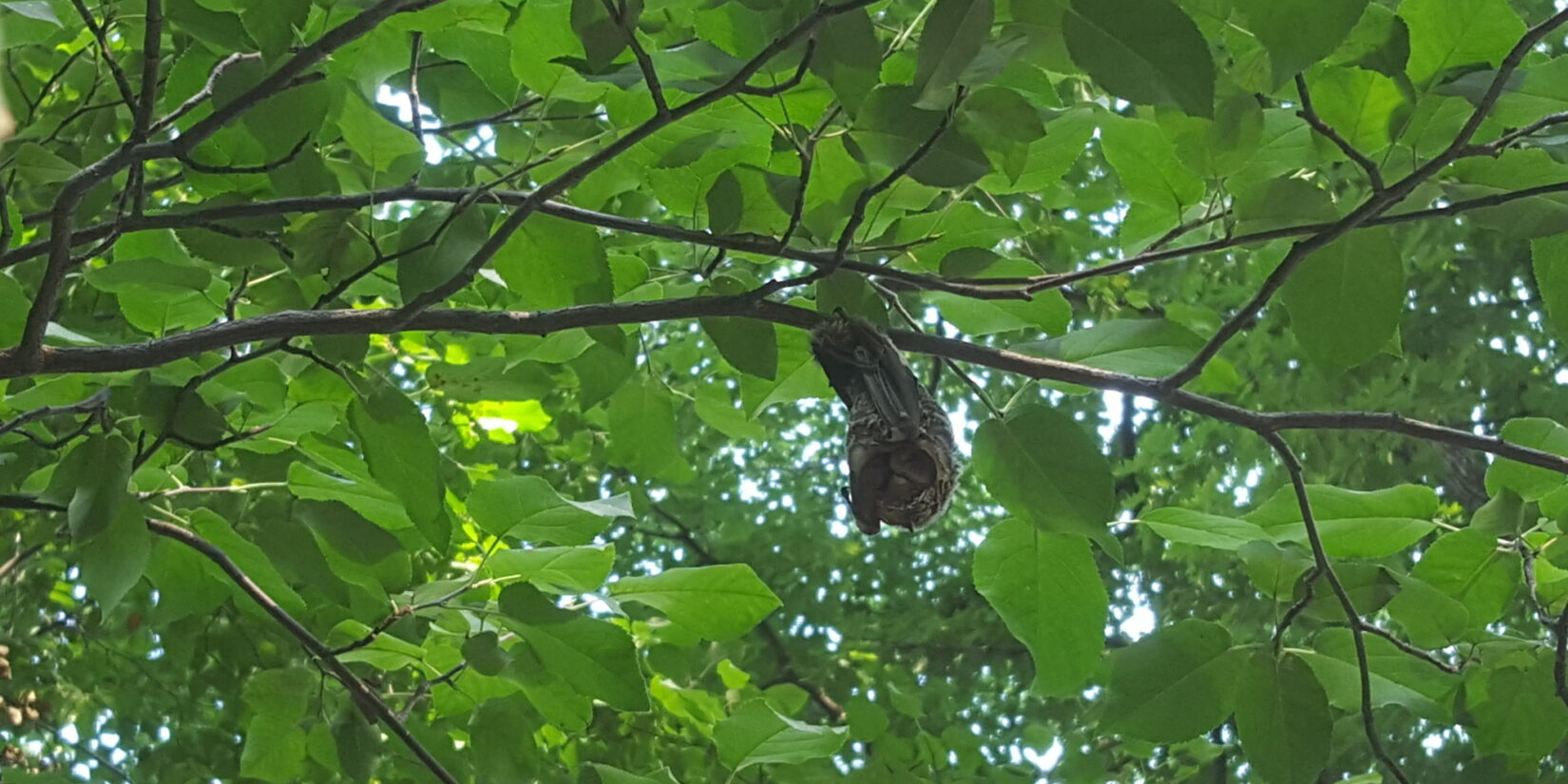 A hoary bat hanging from a branch beneath a canopy of green leaves