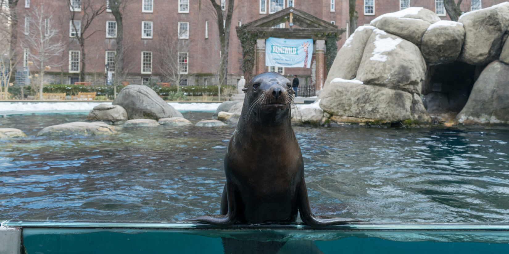 A seal holds itself up by its flippers to look out of its enclosure at the Central Park Zoo