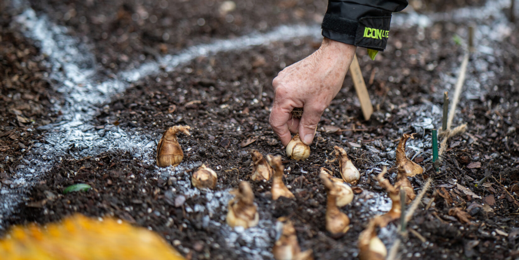 Sprayed lines in the dirt serve as a guide for planting bulbs.