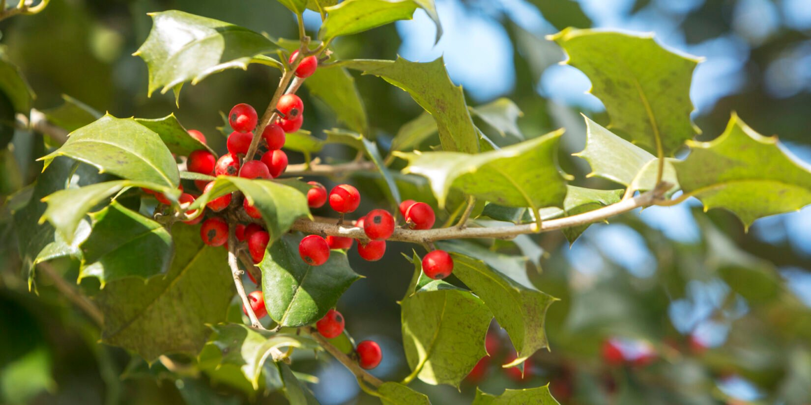 The pointed leaves and bright, red berries are featured in this close-up of an American Holly tree.