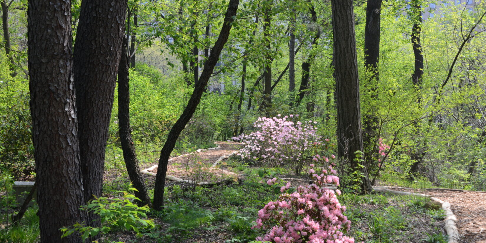 A path winds through a landscape of pink blossoms and trees with spring-green leaves