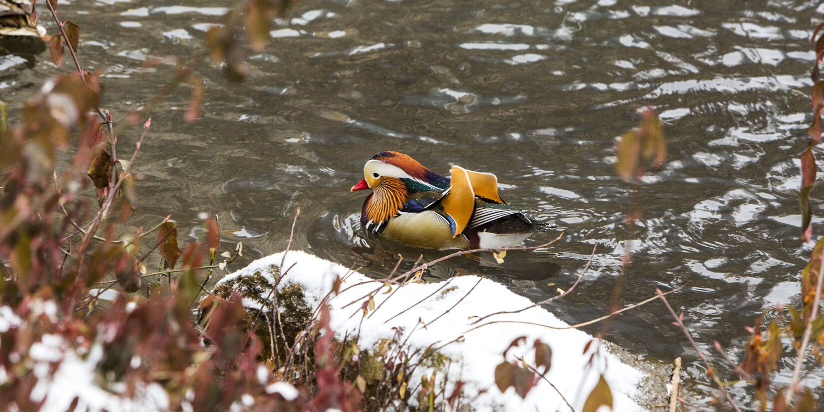 The unusual feathers of the mandarin duck offset by snow-dusted rocks and brown leaves in the foreground