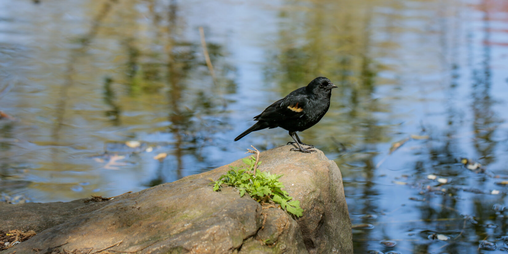 A male red-winged blackbird perches on a rock overlooking the Pool.