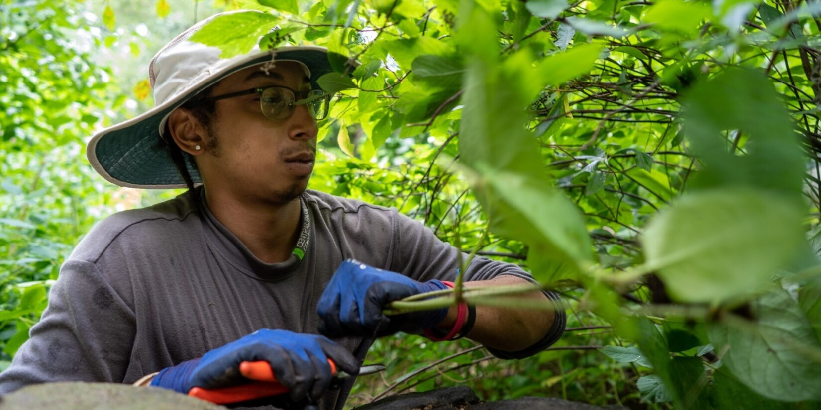 A Conservancy worker in a wide-brimmed hat works deep in the leaves.
