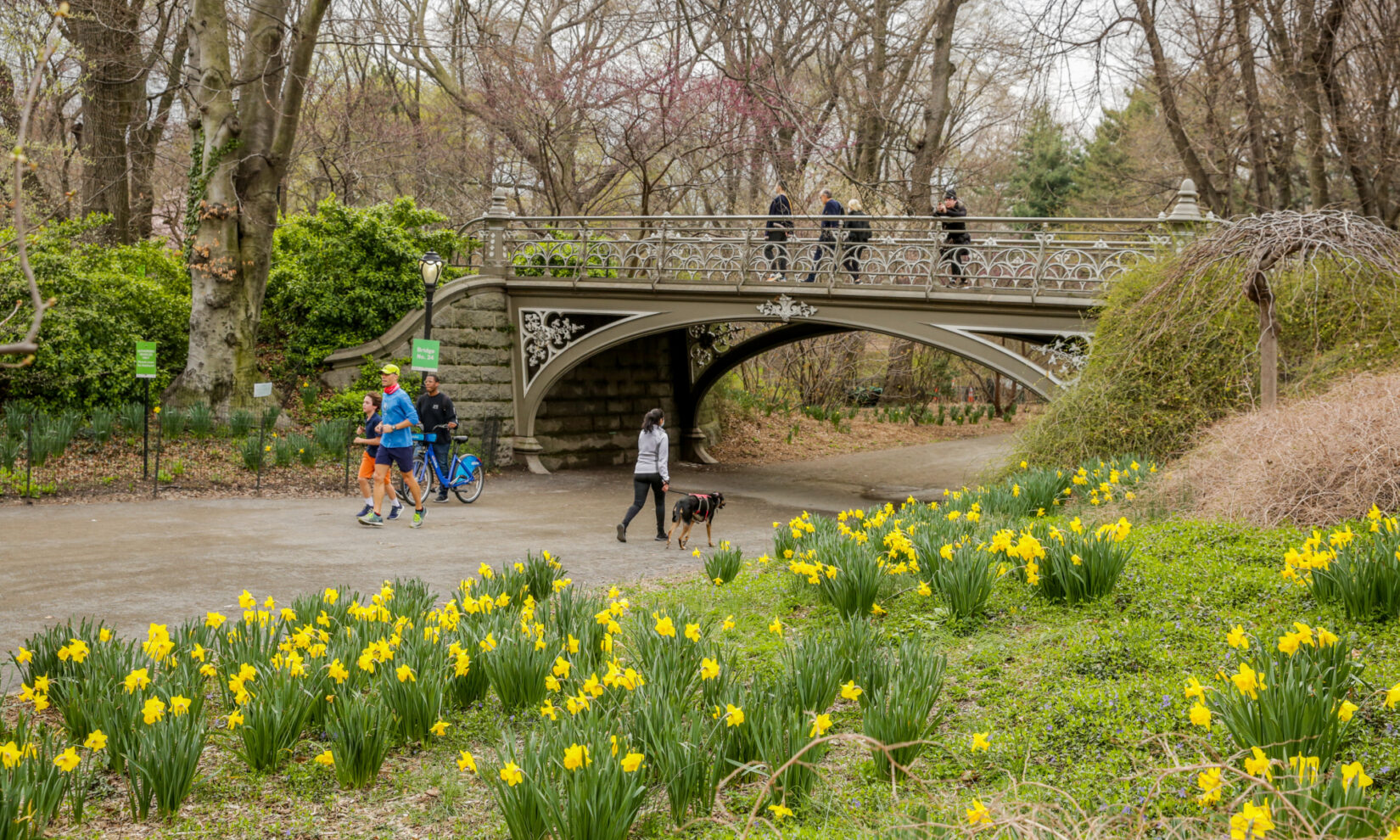 Park goers enjoy the view of early-spring daffodils while they stroll below, and across, Bridge 24.