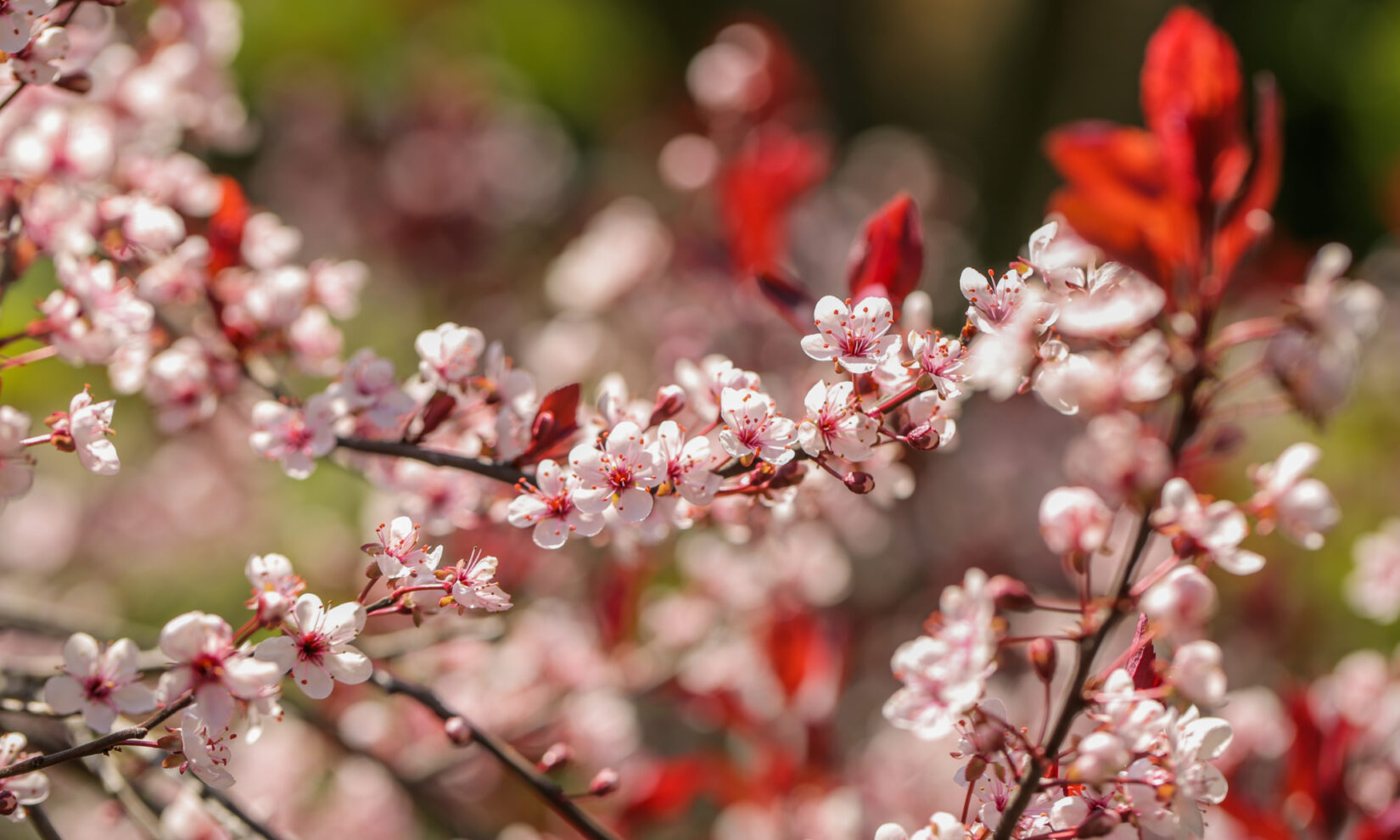Spring blooms of pink and red studding branches in sharp relief to a blurred floral background