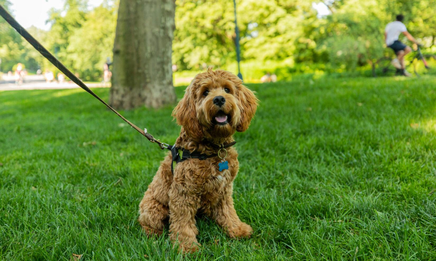 A happy, leashed dog enjoys the shade of a Park tree.