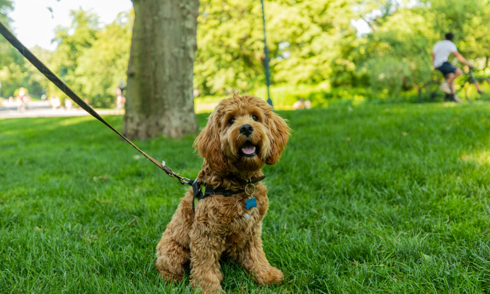 A leashed dog enjoys the shade of a Park tree.