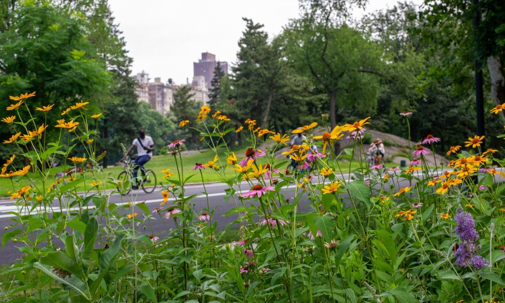 A bicyclist is seen through a stand of orange and purple flowers.