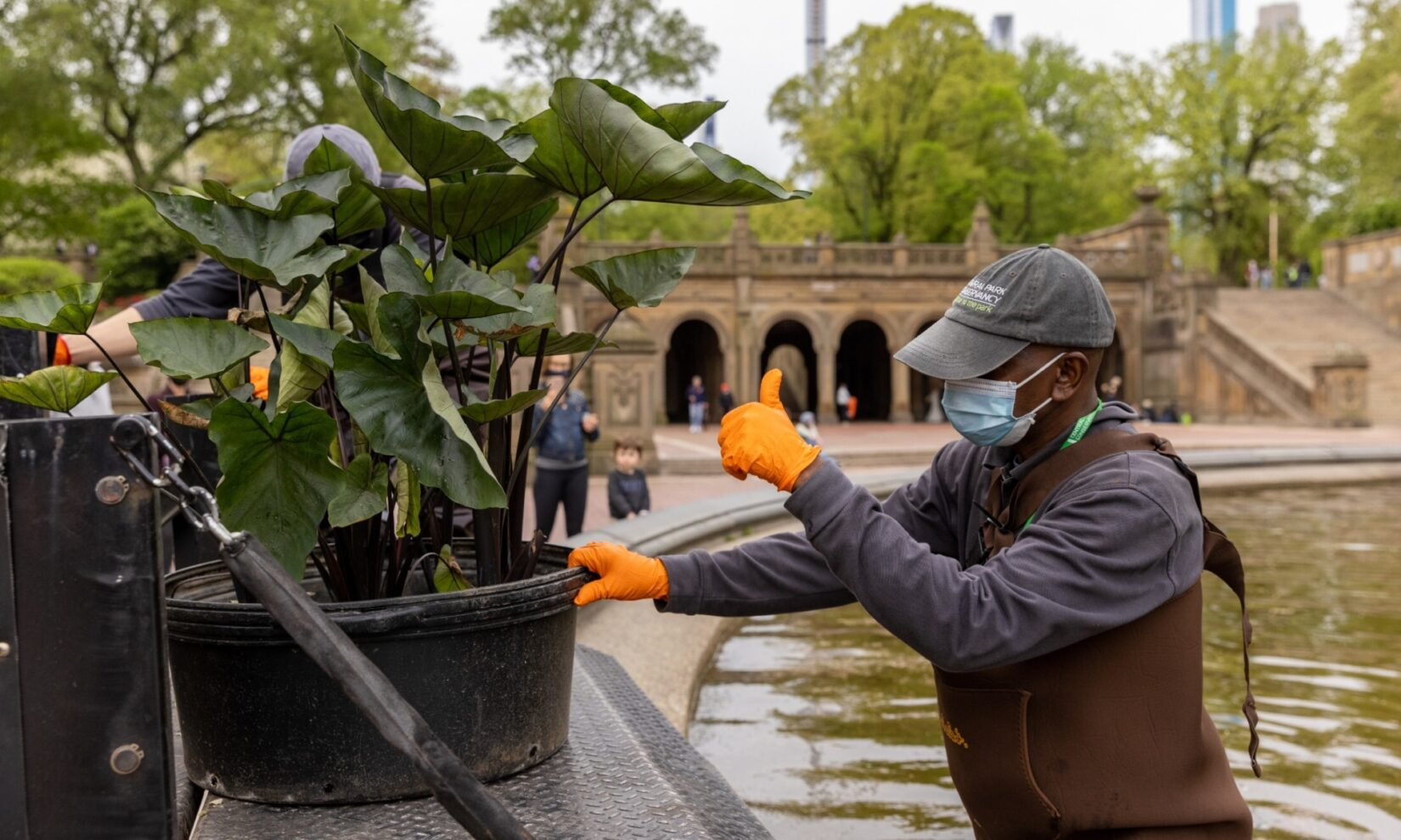 A Conservancy staff member pulls aquatic plantings off a truck for placement in Bethesda Fountain