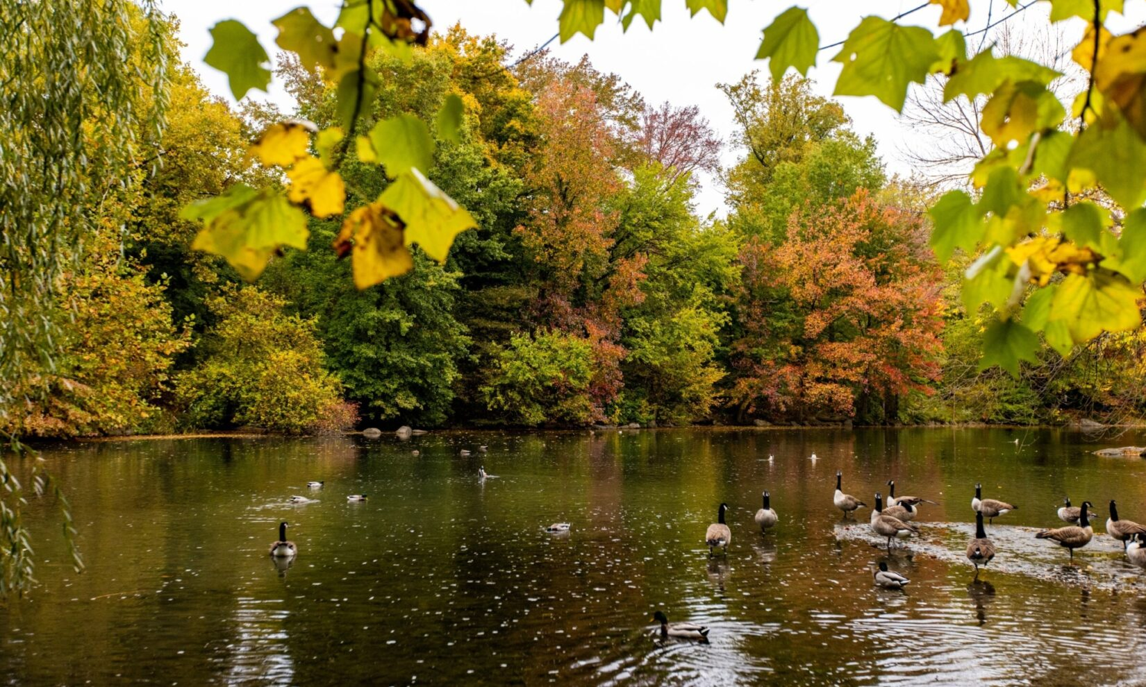 Ducks glide on the glassy surface of the Pool in autumn