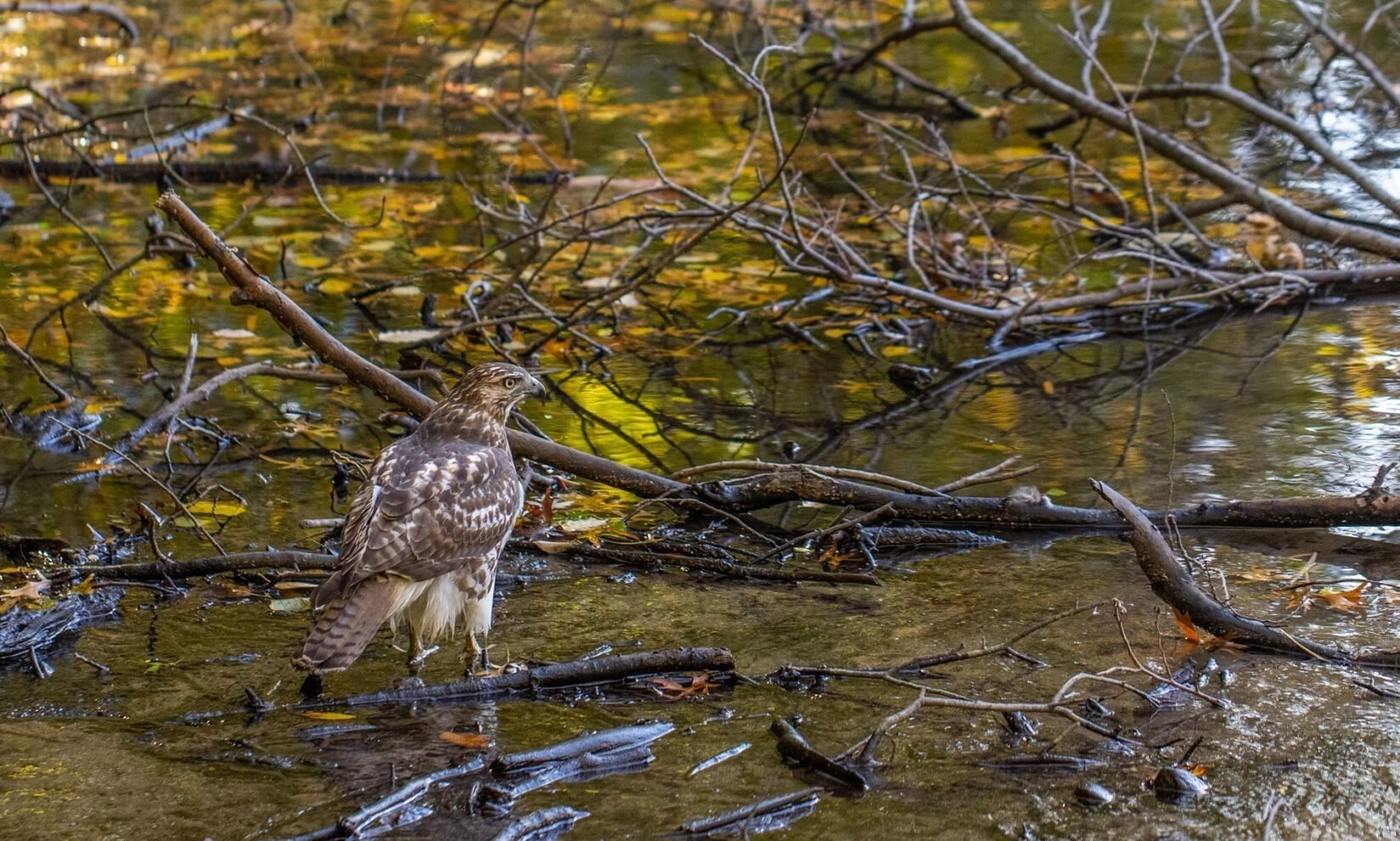 An alert hawk is perched on a branch midstream in the Gill.