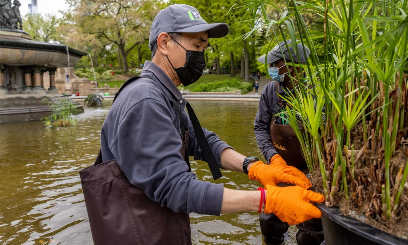 Conservancy staff member William Quansah, in waders, attends to the plants in Bethesda Fountain.