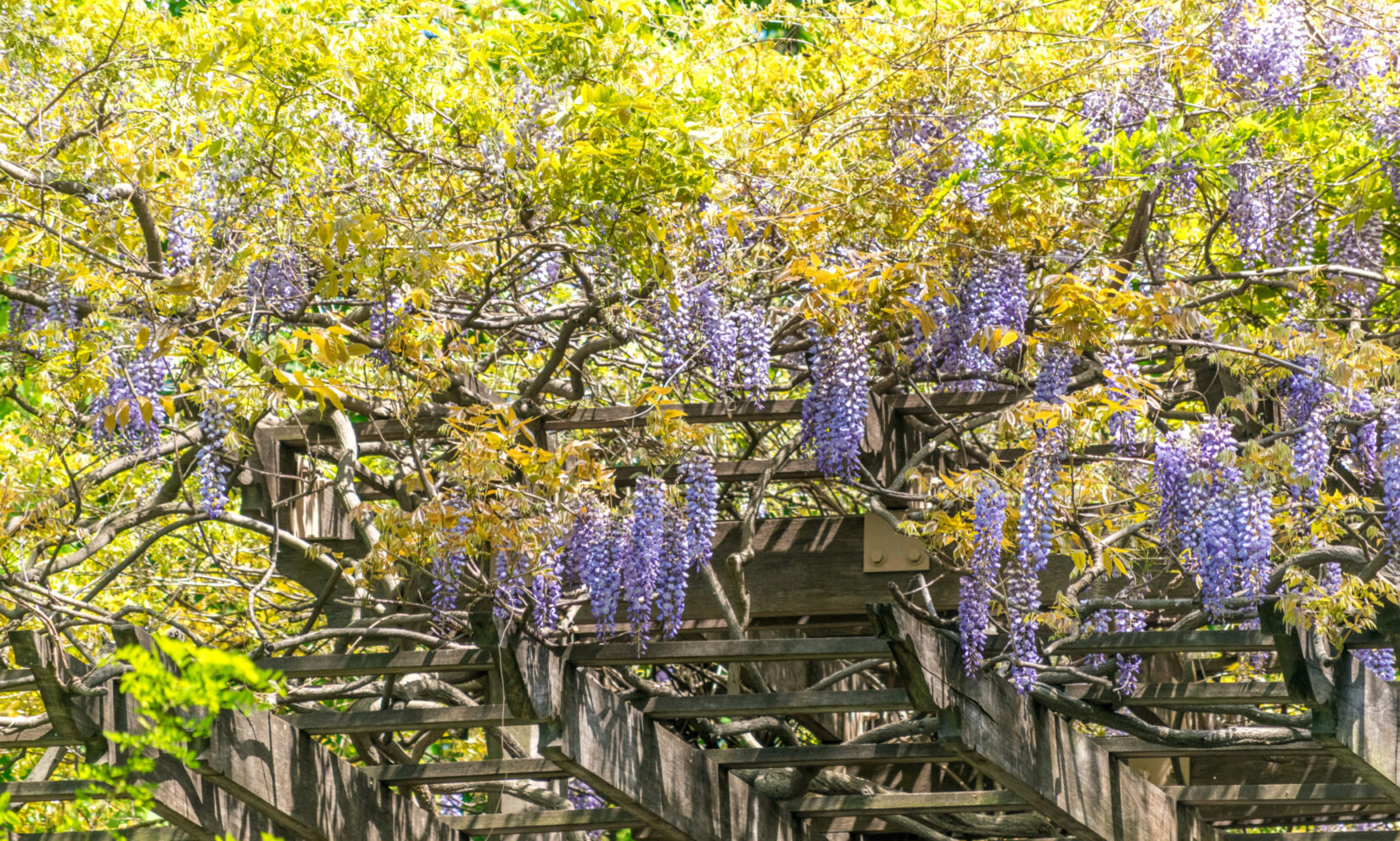 The purple blooms of wisteria highlight the rustic structure of the pergola