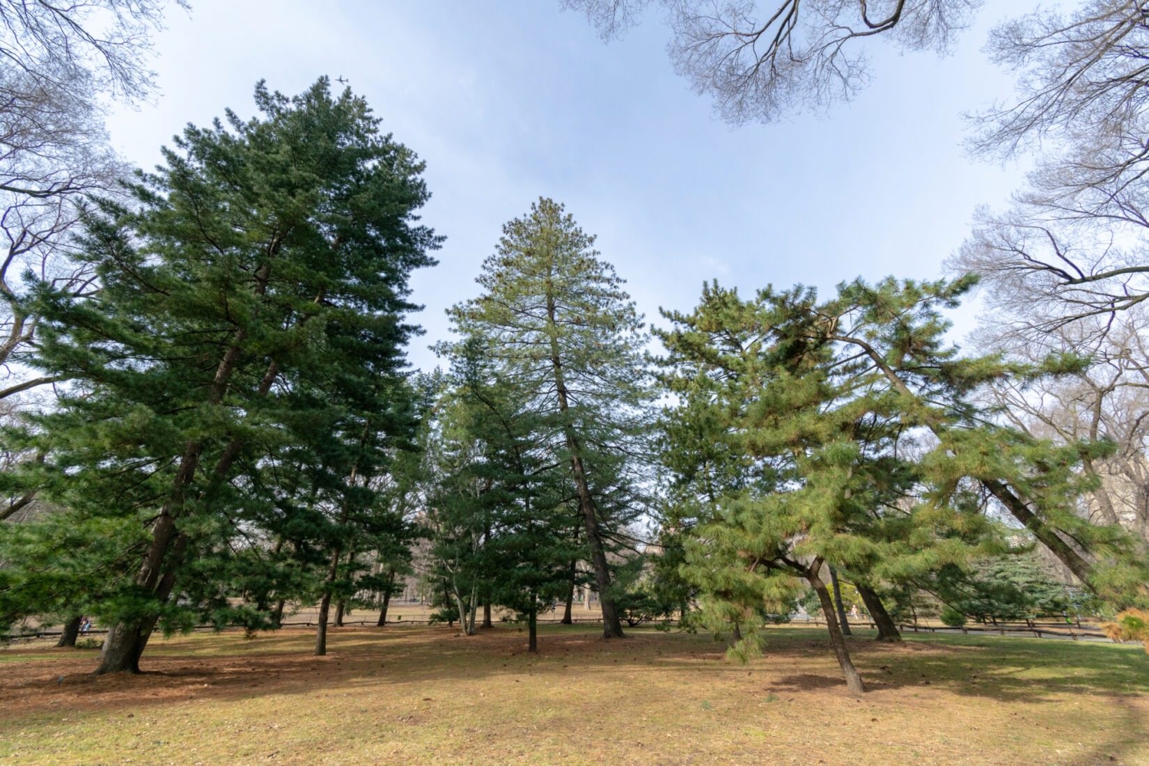 A winter view of pine trees at the Pinetum
