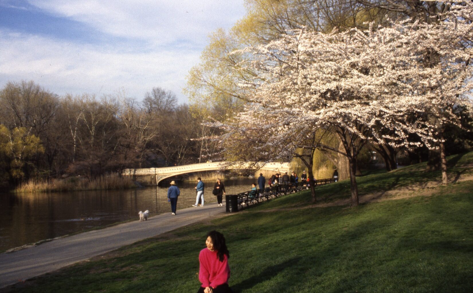 The shore of the Lake, with Bow Bridge in the background and a tree laden with cherry blossoms in the foreground.