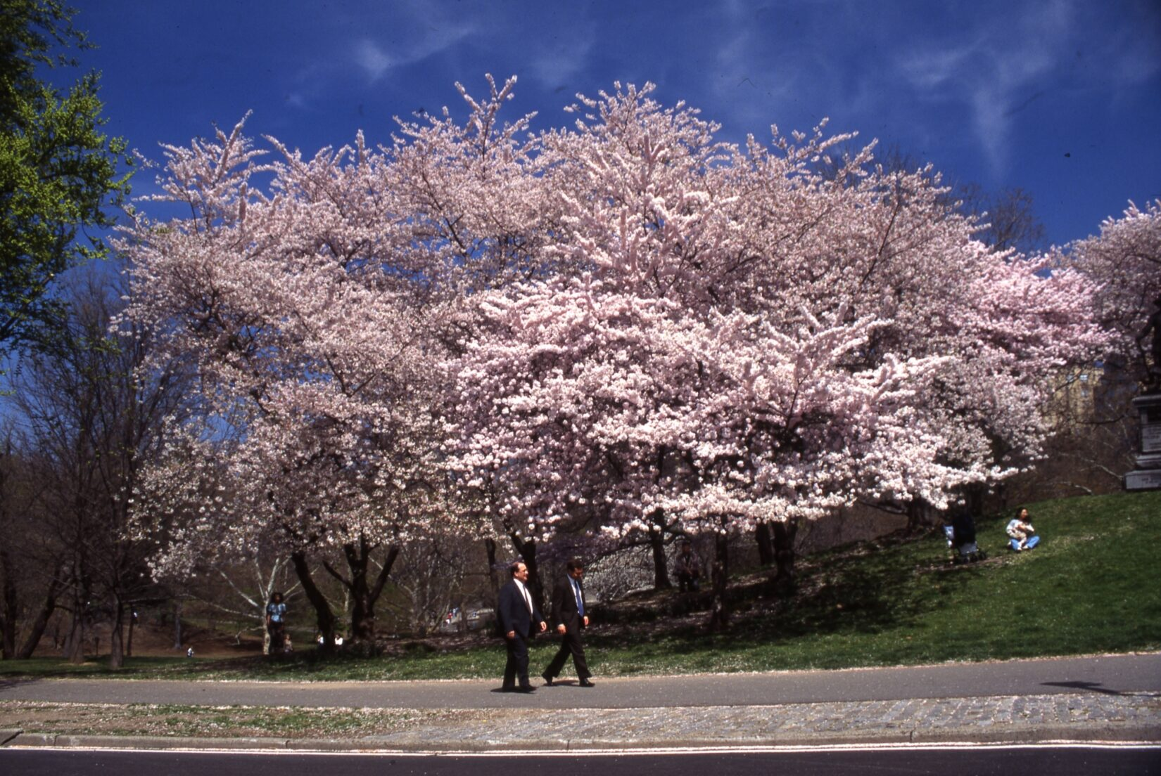 Two men in suits stroll past a tree thick with cherry blossoms